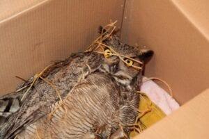 Great Horned Owl Entangled in Soccer Net