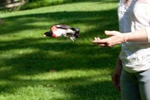Release of a Male Rose-breasted Grosbeak