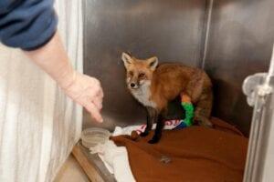 Red Fox with Broken Leg