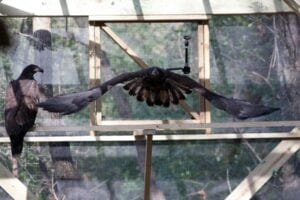 Juvenile Bald Eagle in Pre-Release Flight Chamber